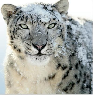 The snow leopard is a