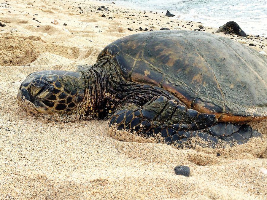 A grumpy turtle on a beach.